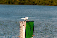 US, Florida. Ten Thousand Islands, Everglades. Royal Tern.