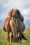 Yin and Yang was my first thought when I saw these two Icelandic horses standing side by side, filling eachother perfectly in terms of shape, colours and harmony | Yin og Yang, hentet fra det Kinesiske språket, var min første tanke da jeg så disse to islandshestene stå side om side og utfylle hverandre perfekt i form, farge og harmoni.