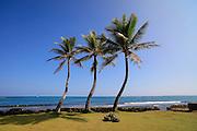 Three coconut palm tree, Hauula, Windward, Oahu, Hawaii
