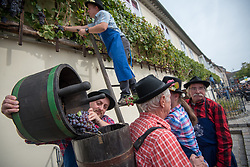 Men in traditional outfits are emptying buckets of picked Modra kavcina or Bleu de Cologne grapes during the Old Vine harvest.Modra kavcina or Bleu de Cologne is more than 400 years old and it is listed in the Guinness Book of Records as the oldest vine in the world still producing fruit. Pictured on 22nd of September in Maribor, Slovenia.  Photo by Milos Vujinovic / Sportida