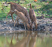 Spotted  deers (Axis axis) drinking in Kanha National Park, India.