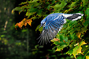 Blue Jay in Flight, Cyanocittqa cristata, Canada, flying from tree, high speed photographic technique,