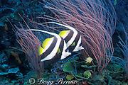 longfin bannerfish or pennant coralfish<br /> Heniochus acuminatus, Susan's Reef, Kimbe Bay, <br /> New Britain Island, Papua New Guinea <br /> ( Bismarck Sea / Western Pacific Ocean )