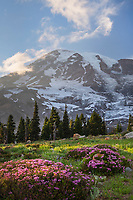 Paradise Wildflower Meadows. Pink Mountain Heather is in the foreground. Mount  Rainier National Park, Washington
