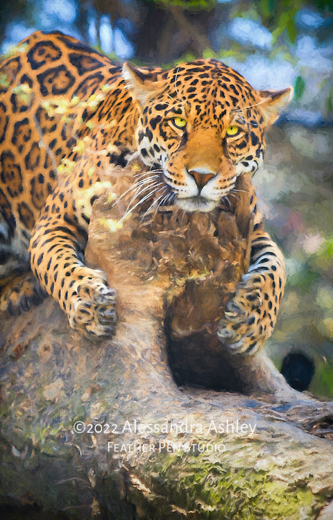 Leopard, the smallest but most adaptable of the big cats.  Photographed lounging on a hollow log in a naturalistic habitat.