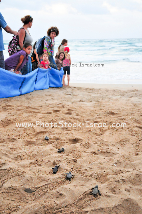 Israel, Atlit, Volunteers release green turtles, Chelonia mydas, after hatching for their first voyage to the Mediterranean Sea while spectators look on