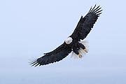 Bald Eagle, Haliaeetus leucocephalus, flying through snow storm, Kenai Peninsula, Homer Spit, Homer, Alaska.