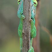 Parson's Chameleon (Calumma parsonii) is indigenous to Madagascar.