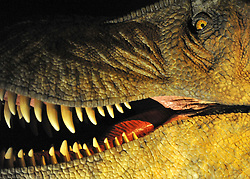 © licensed to London News Pictures. LONDON UK. 20/04/11. A detail of the animatronic Tarbosaurus. Dinosaurs make a return to the London's Natural History Museum in this summer's family blockbuster exhibition, Age of the Dinosaur. .See special instructions for usage rates. Photo credit should read Stephen Simpson/LNP
