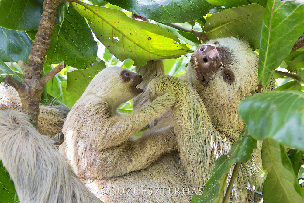 Hoffmann's Two-toed Sloth <br /> Choloepus hoffmanni<br /> Mother and two-month-old baby<br /> Aviarios Sloth Sanctuary, Costa Rica<br /> *Rescued and released by Sloth Sanctuary