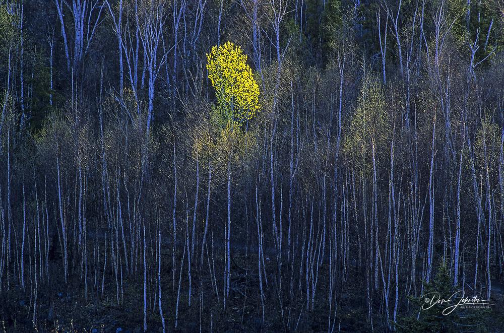 Solitary aspen tree with emerging foliage on hillside of birch trees, Greater Sudbury, Ontario, Canada