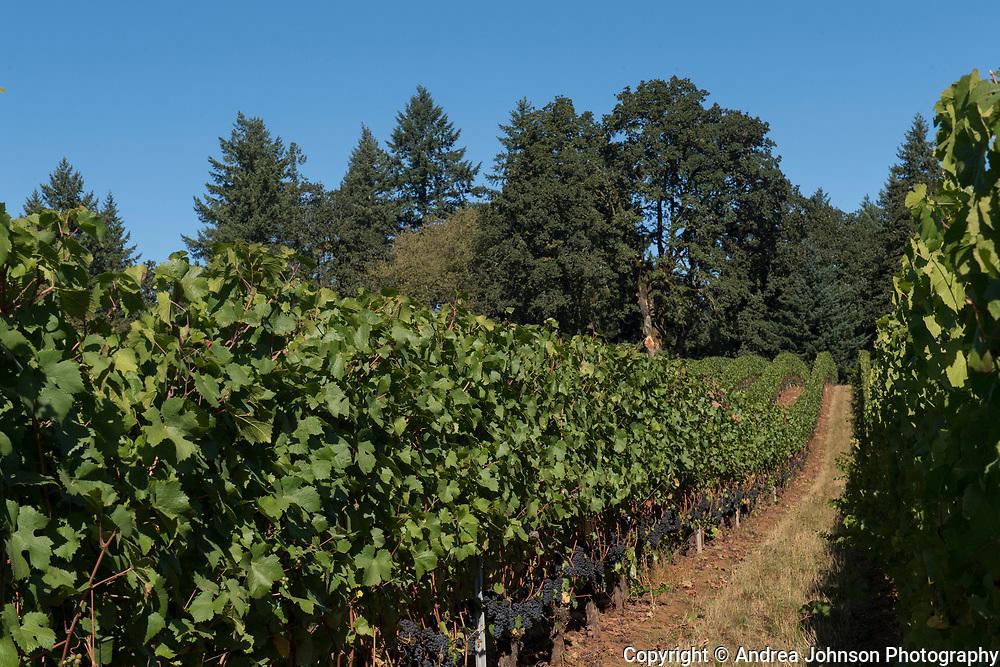 La Colina Vineyard, Dundee HIlls, Willamette Valley, Oregon