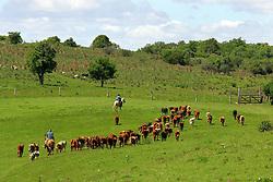 Rebanho de gado bovino nos campos de Encruzilhada do Sul. FOTO: Jefferson Bernardes/Preview.com