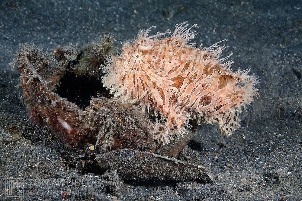 A hairy frogfish (Antennarius striatus) that has crawled into a coconut shell to rest with a full stomach, after eating a very large and long pipefish. File 21 of 22.