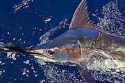 Lure caught Blue Marlin along the side of the boat with TBF tag in shoulder.