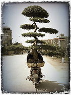 Bonsai tree strapped to a motorbike traveling along a quiet street in Hanoi, Vietnam, Southeast Asia