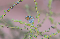 An incredibly tiny western pygmy-blue sits motionless in a shrub on a hot summer evening in the Moab Desert in Eastern Utah.