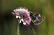 Marbled White butterfly, Melanargia galathea, resting on purple scabious flower, side view of wings, backlight, showing black and white colours patttern, UK