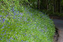 Bluebells growing on a grass verge by a lane