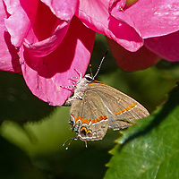 Red-banded Hairstreak<br /> (Calycopis cecrops) enjoying a late-blooming rose in Shakespeare Garden; Central Park Oct. 19, 2021.