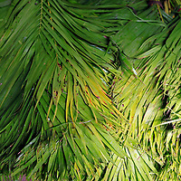 Asia, India, Calcutta.Palm fronds at the flower market in Calcutta.
