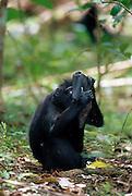 Celebes Crested Macaque (Macaca nigra) | Die wild lebenden Schopfmakaken haben zufällig einen Autospiegel gefunden.