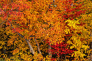 Sugar Maple Leaves in autumn color in the Upper Peninsula of Michigan, USA