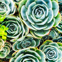 A variety of succulents with a twist.