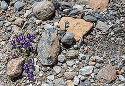 THEMENBILD - die lila Alpenblume, Linaria Alpina wächst zwischen Steinen hindurch aufgenommen am 15. Juni 2017, Kaprun, Österreich // The purple Alpine flower, Linaria Alpina grows between stones on 2017/06/15, Kaprun, Austria. EXPA Pictures © 2017, PhotoCredit: EXPA/ Stefanie Oberhauser