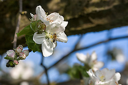 Close-up of honey bee pollinating on white apple blossoms, Bavaria, Germany