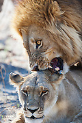 A mating pair of lions  (Panthera Leo) growl and show aggression during their three day mating ritual , Khwai River, Botswana,Africa
