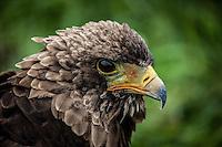 Immature Bateleur Eagle close up.
