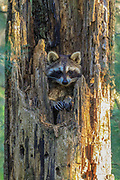 A female racoon peers from a dead stump she is using as a den.