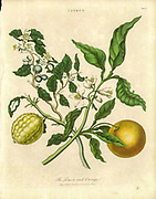 Botanical illustration of Lemon and Orange Citrus fruit Handcolored copperplate engraving From the Encyclopaedia Londinensis or, Universal dictionary of arts, sciences, and literature; Volume IV;  Edited by Wilkes, John. Published in London in 1810
