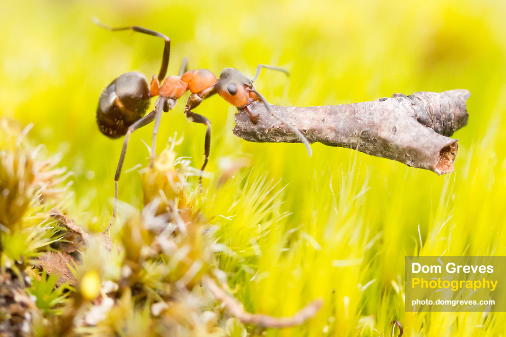 Wood ant (Formica rufa) carrying twig. Dorset, UK. Worker ants return from foraging with building materials for nest repairs. Wood ant nests are often damaged in raids by badgers and other animals.