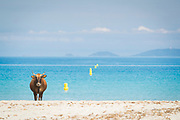 Cow on beach under blue sky, Beach of Porticcio, Gulf of Ajaccio, Corsica, France