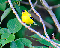 American Goldfinch. Image taken with a Fuji X-T2 camera and 100-400 mm OIS lens.