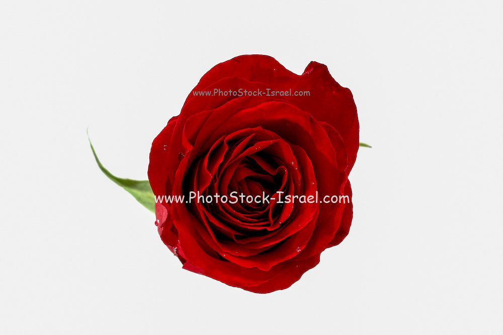 Red Rose cutout on white background