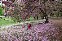 Cherry trees west of the Reservoir in Central Park