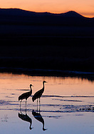 A pair of sandhill cranes ready to roost after a full day of foraging, Bosque del Apache National Wildlife Refuge.