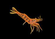 Featherstar Shrimp - Hippolyte prideauxiana