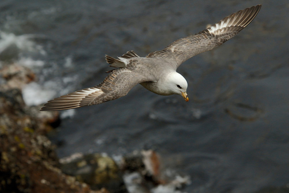 Northern Fulmar (Fulmarus glacialis) is a common seabird in Alaska waters. Breeds in colonies at Bering Sea islands. Nests on ledges on sea cliffs, often among other seabirds