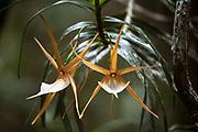 Comet orchid<br /> East Madagascar<br /> Mantadia National Park<br /> MADAGASCAR