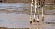 Somali Giraff crossing Ewaso Ng'iro in Samburu National Reserve, Kenya.