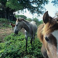 Fiji Islands, Wakaya Island, Wakaya Club, island's feral horses