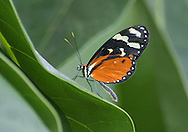 Butterfly, Melinaea scylax, Longwing, Heliconius, Tiger Longwing