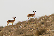 two Dorcas Gazelle (Gazella dorcas), also known as the Ariel Gazelle Photographed in the Negev Desert, Israel
