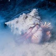 Giant Hermit crab (Petrochirus diogenes) feeding at night. Eleuthera, Bahamas.