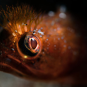 Portrait of a Neoclinus bryope blenny peeking out from its hole in the reef, with emphasis on eye contact. Photographed at a magnfication of two times life-size.