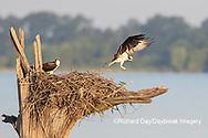 00783-01902 Osprey (Pandion haliaetus) landing at nest Rend Lake Jefferson Co. IL